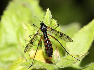 Mückenart: Faltenmücken