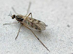 Mückenart: Fenstermücke