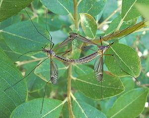 Mückenart: Schnake