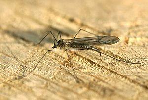 Mückenart: Wintermücken