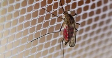 Mücke am Mückengitter